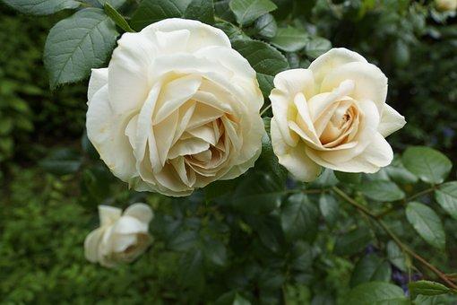 Rose, Garden, Rose Bloom, Pale Yellow Rose