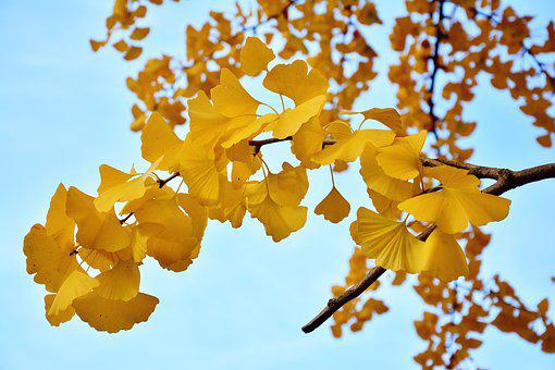 Ginkgo Tree, Gingko Leaves, Tree, Branch, Autumn