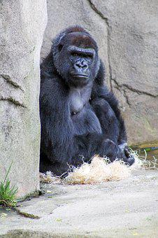 Gorilla, Are, You, Looking, At, Me