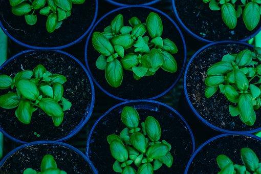 Basil, Plant, Green, Organic, Herb, Fresh, Healthy