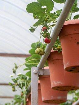 Strawberries, Farm, Leaf, Red, Fruit, Organic, Vitamin