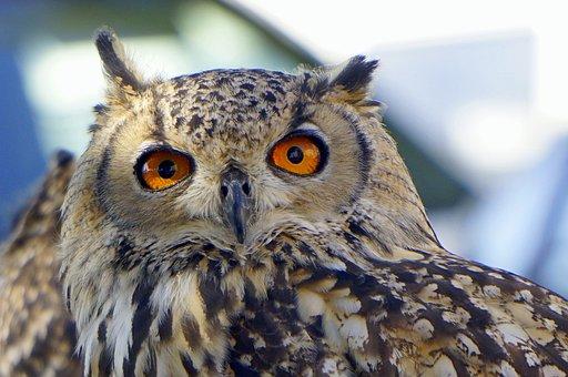 Owl, Ave, Bird Of Prey, Peak, Animals, Look, Eyes