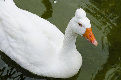 Animal, Nature, Peak, Orange, Duck, Mallard, Ave, Pen