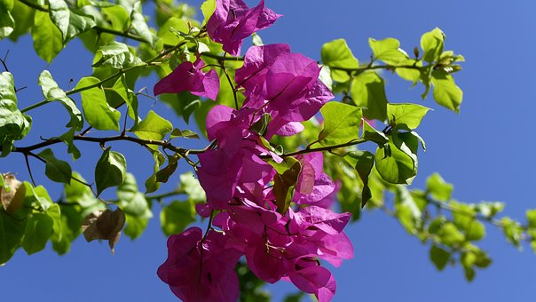 Flower, Ranke, Mediterranean
