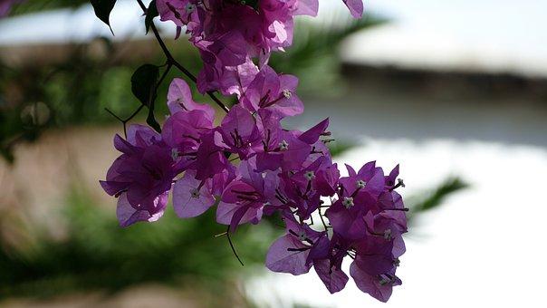 Mediterranean, Ranke, Flower