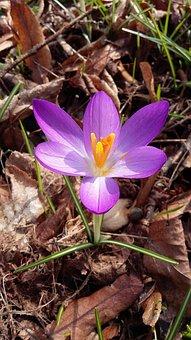Flower, Crocus, Spring, Blossom, Bloom, Nature, Garden