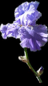 Iris, Flower, Dark Mauve, Stem