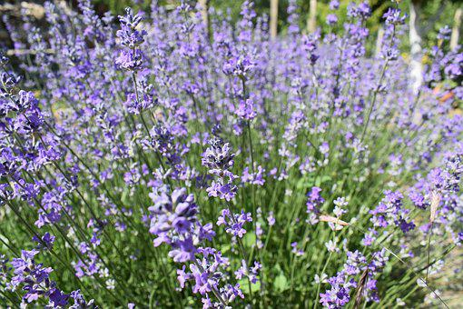 Lavender, Garden, Flower, Purple, Plant, Herbal, Summer