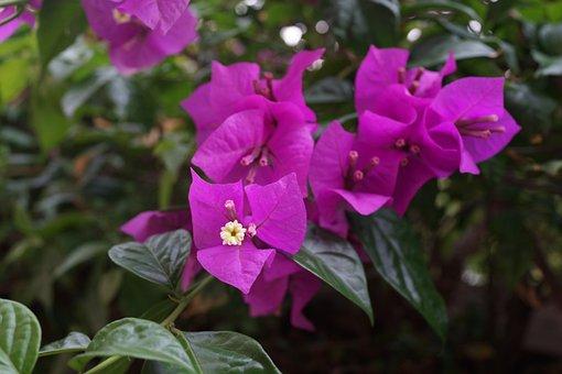 Bougainvillea, Thorny Ornamental Vines, Bushes, Trees