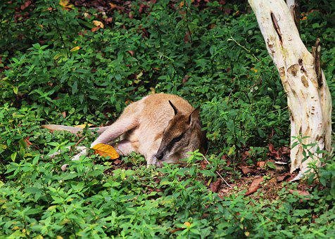 Kangaroo, Animal, Zoo, Australia, Wild, Wildlife