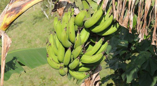 Banana, Banana Tree, Bananas, Fruit, Colombia