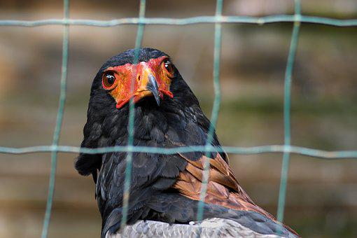 Eagle, Savannah Bateleur, Raptor, Fence, Bird