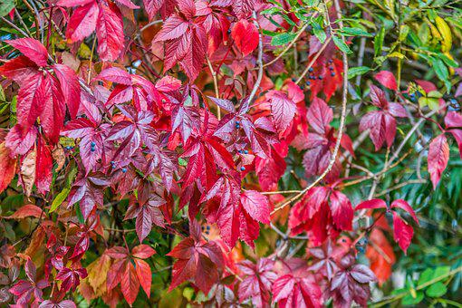 Foliage, Fruit, Red, Burgundy, Autumn, Nature, Plant