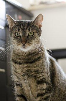 Cat, Tomcat, Domestic Cat, Kitten, Pet, Calm Cat, Tabby