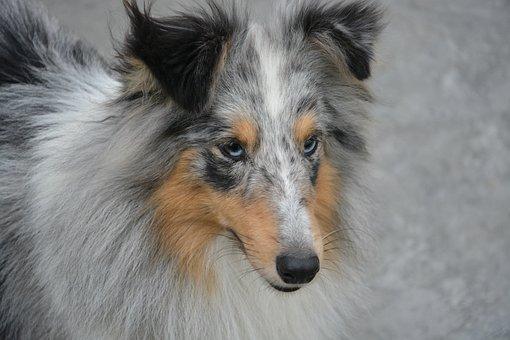 Bitch Shetland Sheepdog, Color Blue Merle, Blue Eyes