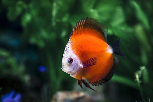 Animal, Blurred Background, Closeup, Fish, Fish Tank