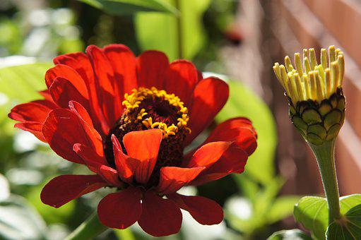 Zinnias, Flowers, Flower Bed, Autumn, Flower