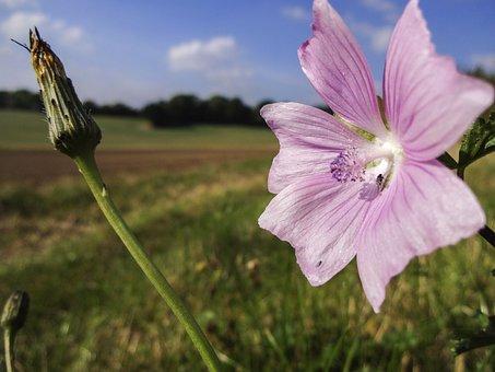 Field Bindweed, Bindweed, Flower Close Up