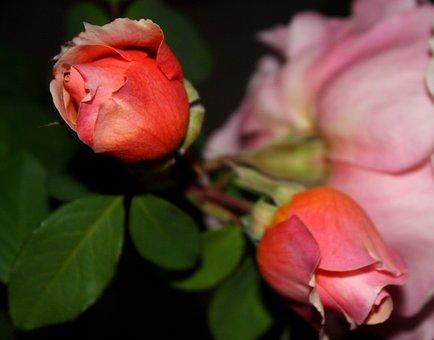 Rosebuds, Flowers, Pink Flower, Rosebush, Garden