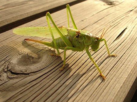 Grasshopper, Kobilka