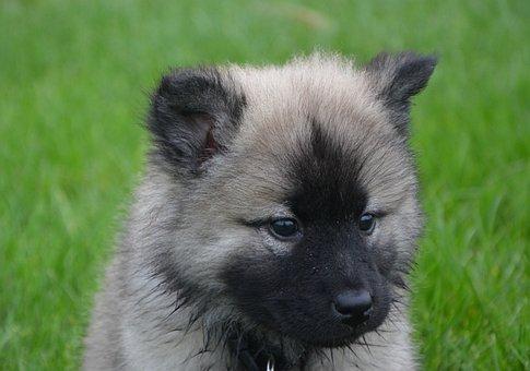 Puppy, Eurasier, Head, Black Muzzle, Brown Eyes