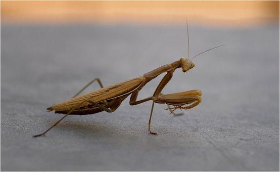 Mantis Religiosa, Nature, Predator, Macro, Brown, Bugs