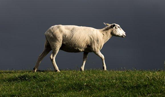 Sheep, Dike, North Sea, Thunderstorm, Gewitterstimmung