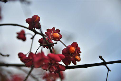 Spindle, Fortunei, Toxic, Red, Plant, Pfaff Copings