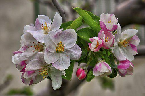 Flower, Manzano, Leaves, Spring, Beauty, Delicious