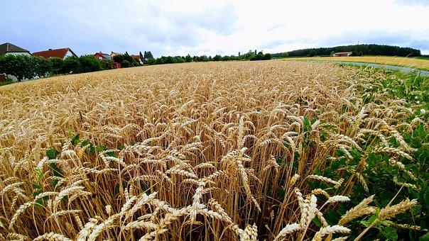 Nature, Cornfield, Summer, Grain Fields, Agriculture