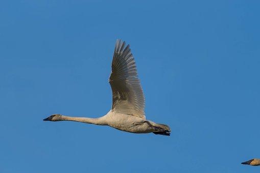 Swan, Trumpeter, Dorthy Roi White, Blue