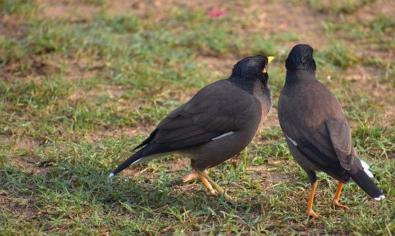 Two Mynas, Mynah, Acridotheres Tristis, Two Birds, Pair