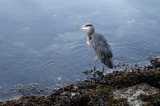 Heron, Grey Heron, Water Bird, Waters, Vancouver