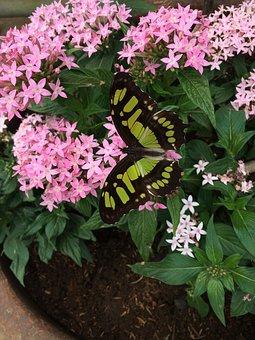 Butterfly, Costa Rica, Penta, Flower, Wings