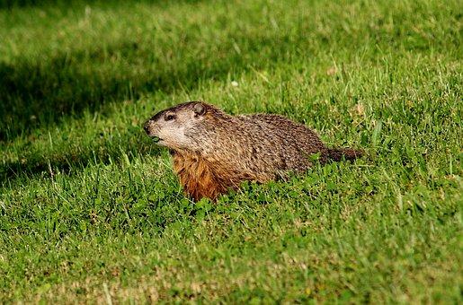Gopher, Woodchuck, Marmot, Groundhog, Mammal, Nature