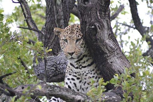 Wildlife, Leopard, Botswana