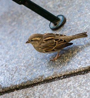 Sperling, Bird, Dresden, Singing Bird
