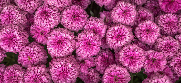 Chrysanthemum, Autumn, Flowers, Chrysanthemum Festival