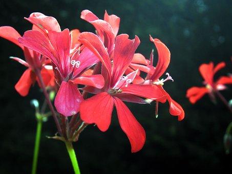 Flower, Red, Nature, Garden, Petals, Summer