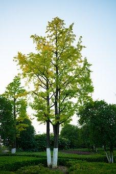Ginkgo Trees, Guiyang, Zhongtian Exhibition City, Tree