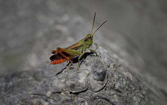 Insect, Macro, Grasshopper, Insect Jumper, Nature
