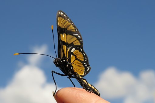 Borboleta Do Manacá, Butterfly, Sky, Hand, Insect