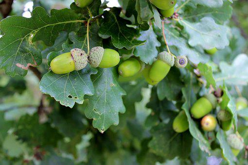 Oak, Green, Acorns, Tree, Fruits, Leaves, Immature
