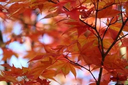 Fall, Autumn, Nature, Season, Orange, Red, Leaves, Leaf