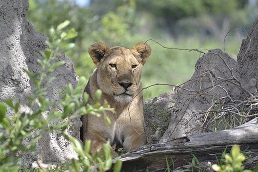 Wildlife, Lion, Botswana