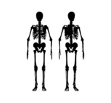 Skeleton, Body, Human, Anatomy, Medical, Medicine