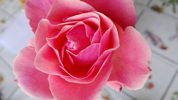 Rosa, Fiore, Natura, Petali, Rosa Botanica, Amare