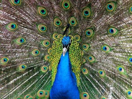 Peacock, Wheel, Beat Rad, Feather, Pride, Bird