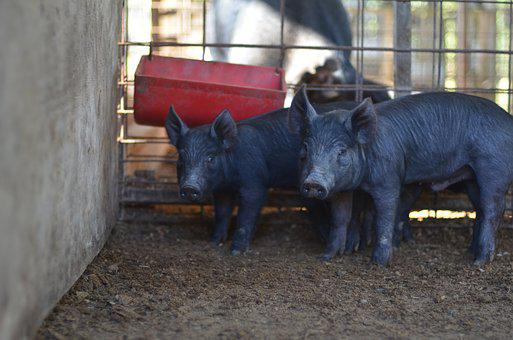 Pig, Piglet, Pork, Animal, Piggy, Swine, Livestock