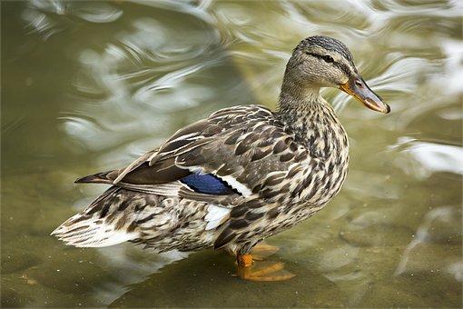 Duck, Wings, Pen, Nature, Pond, Waterfowl, Water